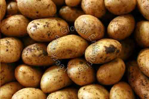 Organic Potato  Suppliers